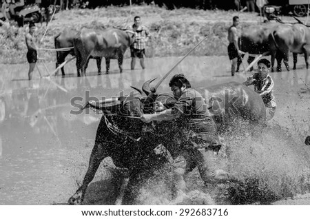 CHONBURI, THAILAND, JUNE 28 - Unidentified farmer preparing two fractious buffaloes while waiting for compete in traditional buffalo racing festival on June 28, 2015. Black and white.