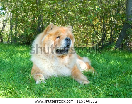 Chow-Chow dog in the city park
