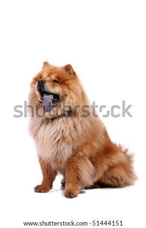 Chow-chow dog on white background