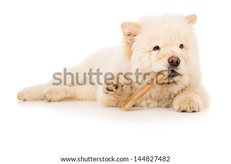 Chow chow eats bone - stock photo
