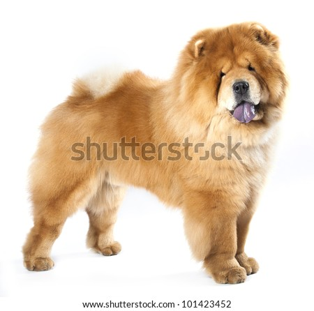 Chow chow  in front ofa white background - stock photo