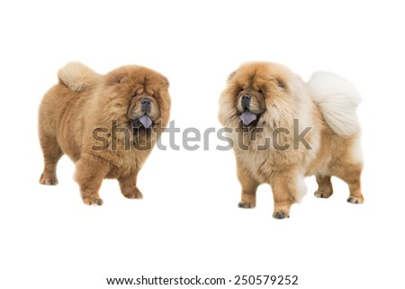 Chow Chow isolated on a white background - stock photo