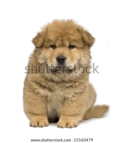 Chow chow (2 months) in front of a  white background - stock photo