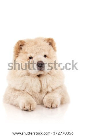 Chow-chow puppy - stock photo