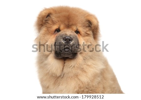 Chow chow puppy, isolated on white background. Close-up portrait