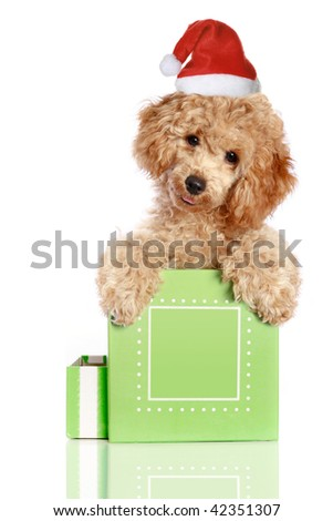 Chrismas poodle puppy in a gift box, isolated with reflection - stock photo