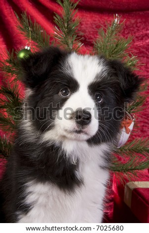 Christmas Border Collie Pup on red velvet background with tree and presents - stock photo