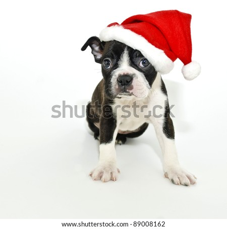 Christmas Boston Terrier on a white background. - stock photo