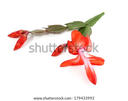 Christmas cactus,  flowers isolated on white