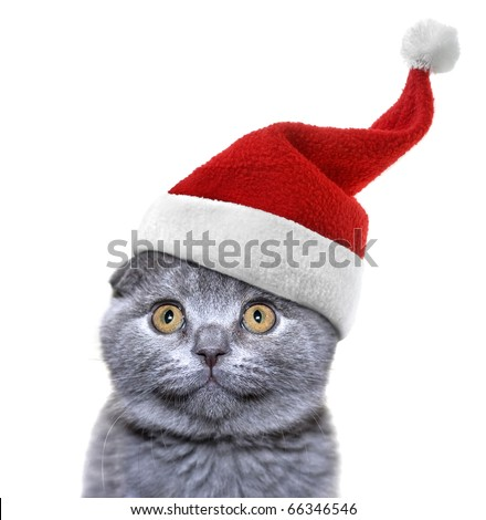 christmas cat in red Santa Claus cap isolated on a white background