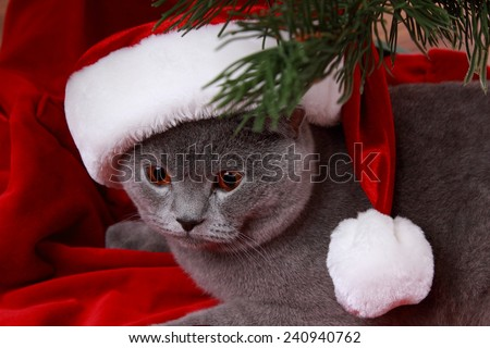 christmas cat in red Santa Claus cap isolated on Holiday theme/Portrait of British gray cat under the Christmas tree  - stock photo