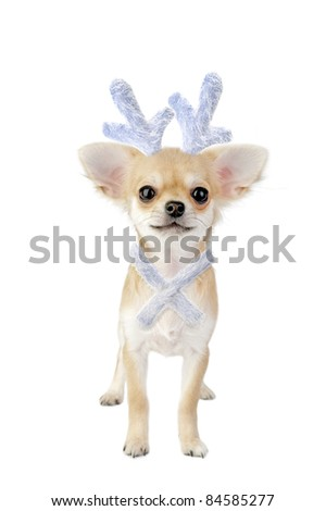 Christmas chihuahua puppy - reindeer with a blue bow isolated on white background