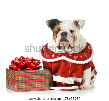 christmas dog - english bulldog dressed in red sitting beside present isolated on white - stock photo