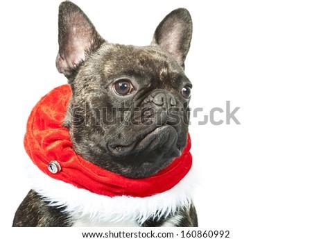 Christmas dog - French bulldog dressed up for Christmas  - stock photo