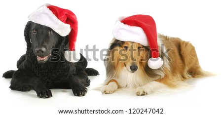 christmas dogs - curly coated retriever and rough collie wearing santa hats isolated on white background - stock photo