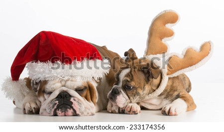 christmas dogs - english bulldog santa and rudolph on white background - stock photo