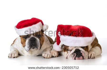 christmas dogs - two english bulldogs wearing santa hats on white background - stock photo