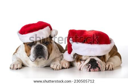 christmas dogs - two english bulldogs wearing santa hats on white background - stock photo