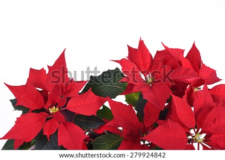 Christmas flower - Euphorbia pulcherima - isolated on the white background