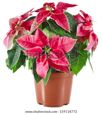 christmas flower poinsettia in flowerpot isolated on white background  - stock photo