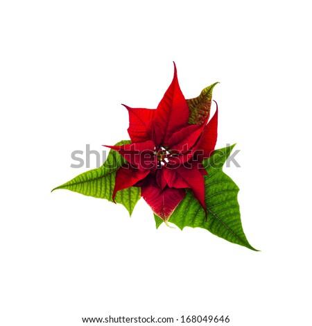 Christmas Star Christmas Poinsettia Flowers Red Stock Illustration ...