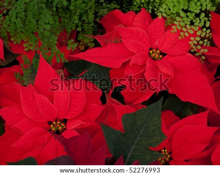 Christmas Flowers, Red Poinsettias with green leaves - stock photo