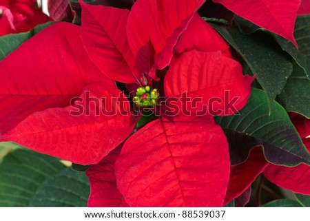 Christmas Flowers , Red Poinsettias with green leaves - stock photo