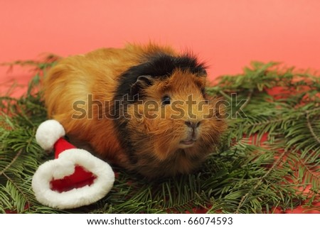 Christmas for guinea pig