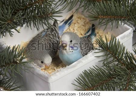 Christmas gift, two small bird - stock photo