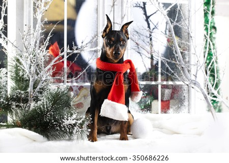 Christmas miniature pinscher  in red scarf - stock photo