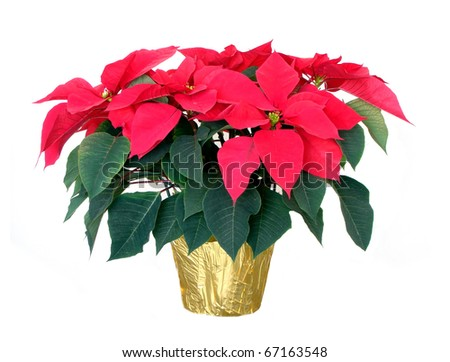 Christmas poinsettia isolated on a white background - stock photo