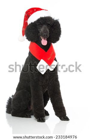 Christmas poodle - stock photo