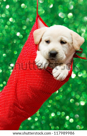 Christmas present, puppy - Cute labrador puppy in a Christmas sock