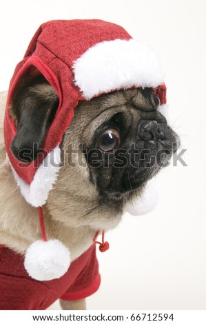 Christmas Pug Dressed up for the Holiday Season.