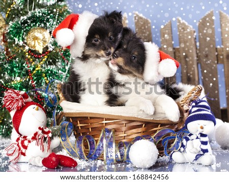 christmas puppies Sheltie wearing a santa hat - stock photo