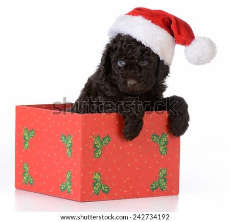 christmas puppy - barbet wearing santa hat sitting inside gift box on white background - stock photo
