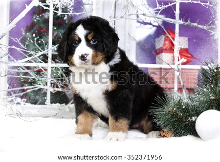 christmas  puppy  bernese sennenhund - stock photo