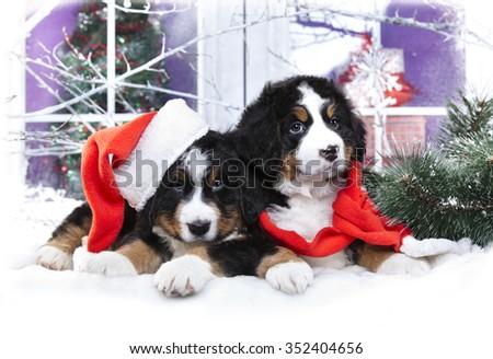 Christmas puppy,  bernese sennenhund in Santa Hat - stock photo