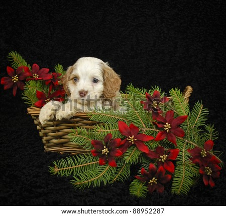 Christmas puppy sitting in a basket with Christmas pine and flowers, with copy space on a black background. - stock photo