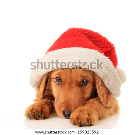 Christmas puppy wearing a Santa hat.  - stock photo