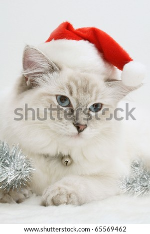 christmas ragdoll cat kitten - stock photo