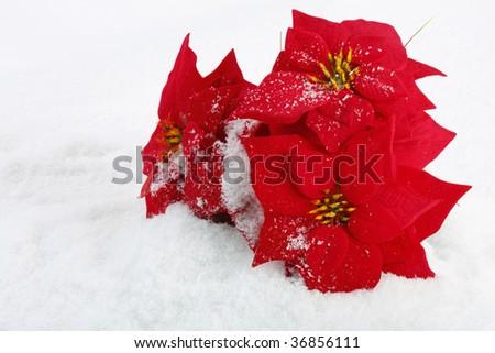 Christmas red poinsettias background over snowflake background - stock photo