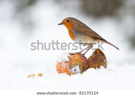 Christmas Robin Redbreast with Apples in Winter Snow - stock photo