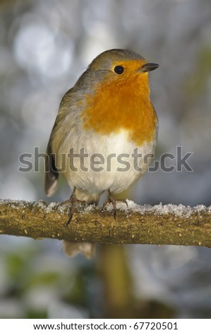 christmas robin sat on snowy perch