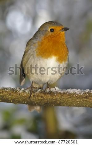 christmas robin sat on snowy perch - stock photo