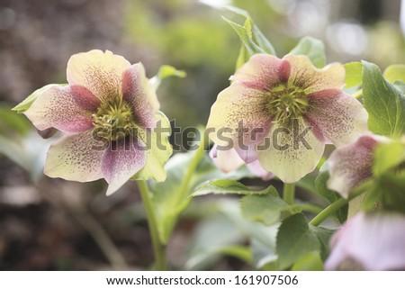 Christmas rose - stock photo