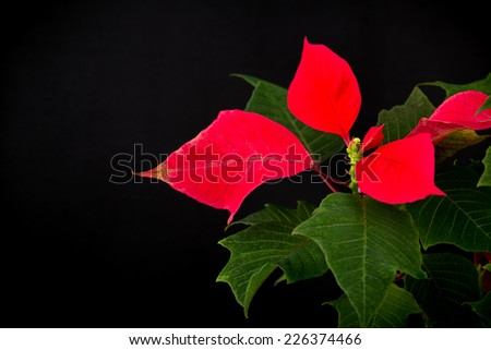 Christmas star flowerpot on black background - stock photo