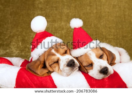Christmas theme sleeping Beagle puppies wearing Santa caps hats   - stock photo