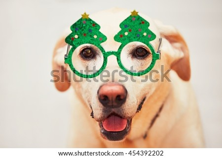 Christmas time with dog. Labrador retriever is wearing funny Christmas tree glasses.  - stock photo