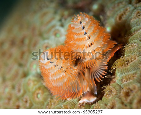 Christmas Tree Worm-Giganteus spirobranchus on a giant Boulder Coral, picture taken on a shallow reef in Broward County, Florida. - stock photo